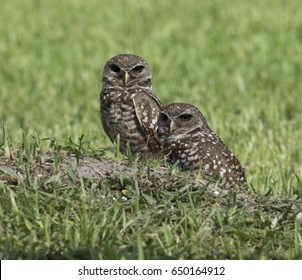 Two unusual dark eyed burrowing owls, possibly due to nonmigratory inbreeding, standing on their dirt mound in green grass.