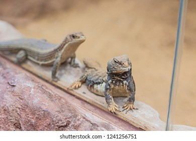 Two Uromastyx dispar in a zoo.