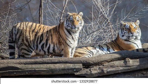 two ussurian tigers, old and young