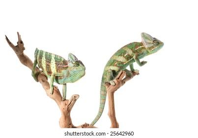 Two Veiled Chameleons (Chamaeleo calyptratus)