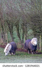 Two very cute miniature or Shetland ponies wearing padded jackets in cold weather