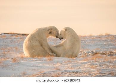 Zwei sehr süße Eisbären verliebt
