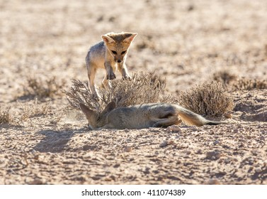 Two very young Cape Foxes playing in the Kgalagadi desert as the one hides by a dry bush and the other jumps at it.