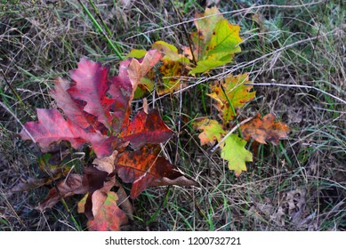 Two very young oak trees changing colors in autumn with a wide range of colours.