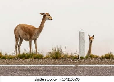 two vicunas on the side of the road, one looks at camera, the other looks at the first