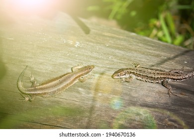 Two viviparous lizards (Zootoca vivipara) sit on an old dry log and bask in the sun. Polymorphism of lizard coloration.