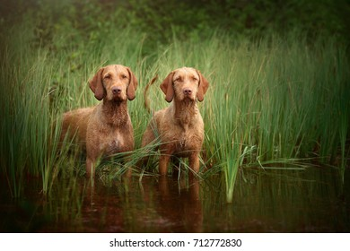 Two Vizsla dog standing in the grass