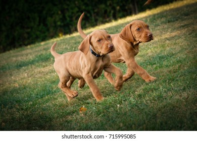 Two Vizsla Puppies playing in the garden