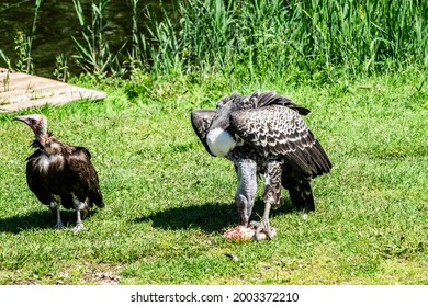 Two vulture scavengers with predatory prey, selective focus. Large Scavenger eagle African vulture with bent beak, long neck and spread wings, close-up.