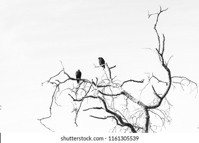 Two Vultures Perched in Oak Tree