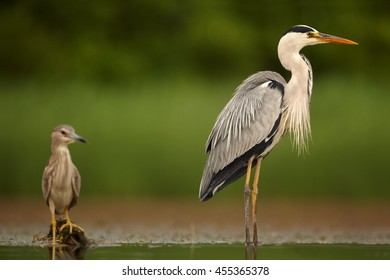 Two waders, Grey Heron and Black-crowned Night Heron in shallow water. Ground level photography, abstract green background. Moravia wetlands, Europe.