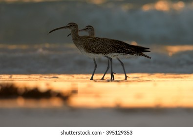Two wading birds, Whimbrel, Numenius phaeopus on white beach of Zanzibar island against waves reflecting setting sun in background.