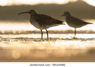 Two wading birds, Whimbrel, Numenius phaeopus on white beach of Zanzibar island against waves reflecting setting sun.