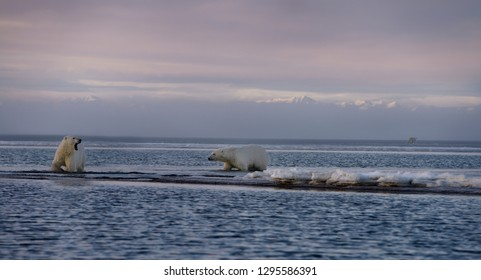 Two wading polar bears one yawning on Barter Island another walking on Kaktovik Lagoon with mountains in Alaska