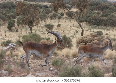 Two Walia Ibex running in Simian mountains, Ethiopia