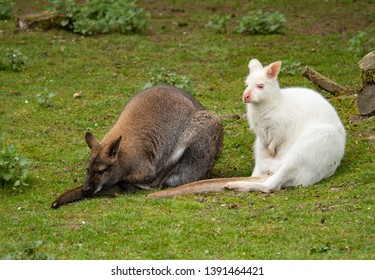 Two wallabies resting: red and albino