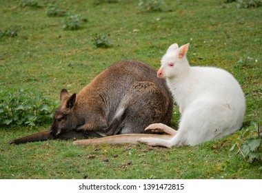 Two wallabies sit close; red and albino.