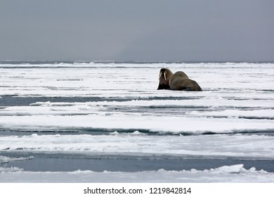 Two Walruses on the Ice, outside Spitsbergen. Svalbard, Norway