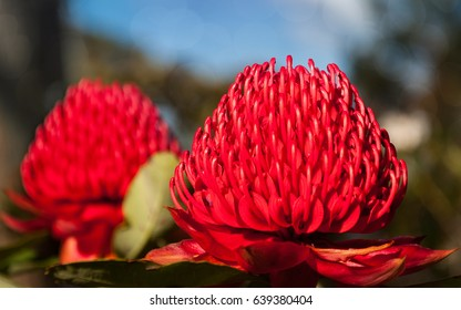 Two Waratah vivid red flowers mirroring each other in the Rhododendron Garden in Blackheath during the Spring Festival, Blue Mountains, new South Wales, Australia.