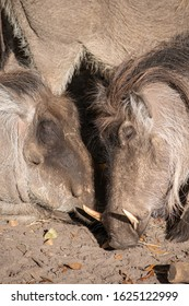 Two wart hogs holding heads together showing affection.