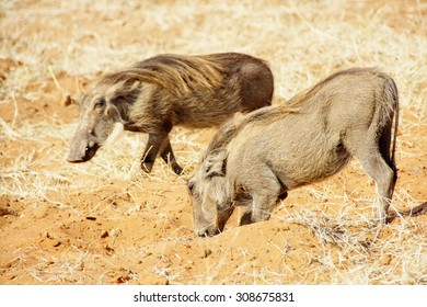 Two Warthogs Digging in Red Sand in Botswana, Southern Africa