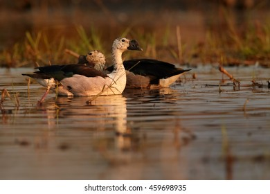 Two water birds, Knob-billed Duck, Sarkidiornis melanotos, swimming in colorful light on evening Chobe river, Botswana,Africa.