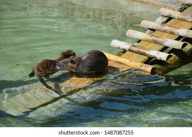 Two water rats is swimming in clear water