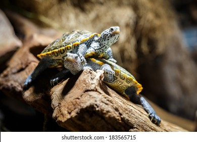 Two Water Turtles out of Water, Aquarium, Malaclemys terrapin