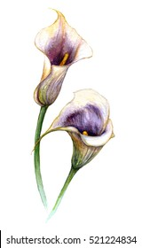 Two watercolor flowers. Calla lily isolated on white background. Wedding decor element