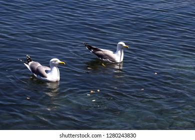 Two Waterfowls Floating on Blue Water with Food Thrown at them. Black Back Gulls Waiting to be Fed. White Feathered Birds with Yellow Beak Swimming Calmly.