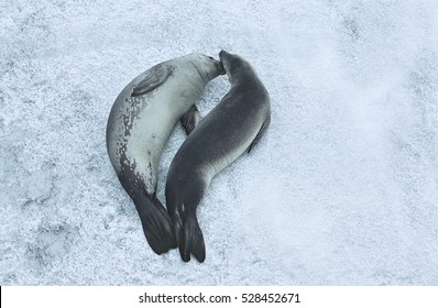 Two Weddell Seals (Leptonychotes weddellii) on ice, view from above