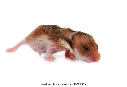two week old baby syrian hamster cub isolated