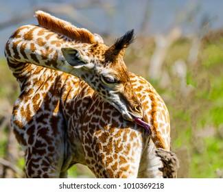 Two week old Massai Giraffe calf has neck bent toward its rump to preen with its dark purple prehensile tongue. Detail of mane, ossicones, ears, coat. Bokeh background.