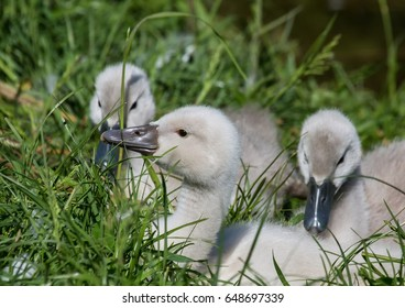 Two week old mute swan babies near a pond in the district of Buechenbach of the city of Erlangen, Bavaria - Germany
