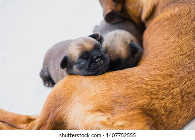 Two week old puppies of Brussels Griffon rest with their mother