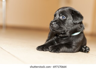 Two weeks labrador puppy posing