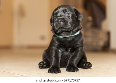 Two weeks labrador puppy staring