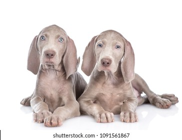 Two Weimaraner puppies lying in front view. isolated on white background