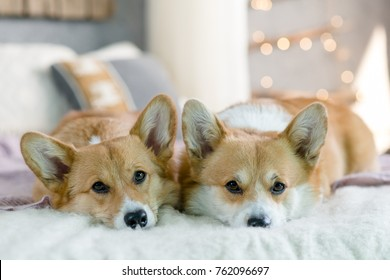 Two Welsh corgi pebroke dogs laying on the bed looking straight with Christmas lights in the background