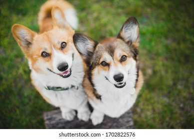 Two welsh corgi pembroke dogs standing on a chopping block, happy and looking to the camera