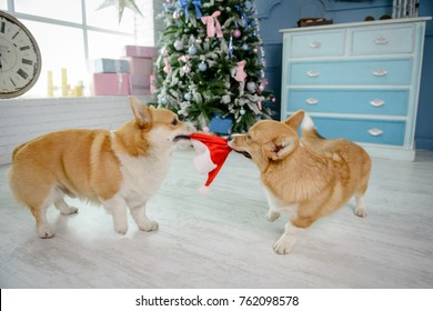 Two Welsh corgi pembroke dogs playing with Santa's hat