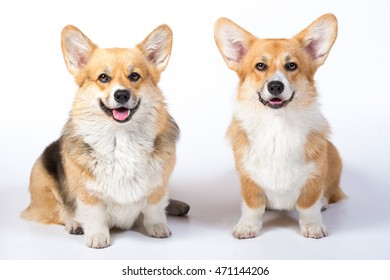 Two Welsh corgi pembroke in studio in front on white background