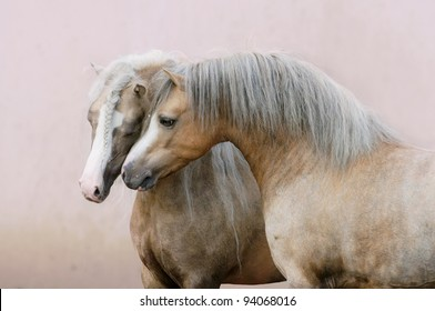 two Welsh ponies love on pink wall background