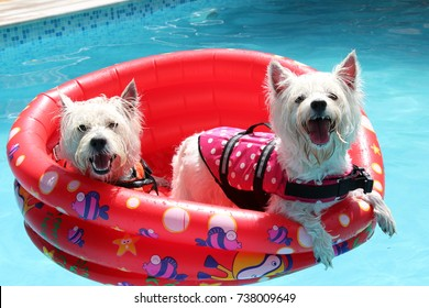 Two Westies West Highland White Terriers enjoying their pool time being together in a red floaty on a sunny summer day