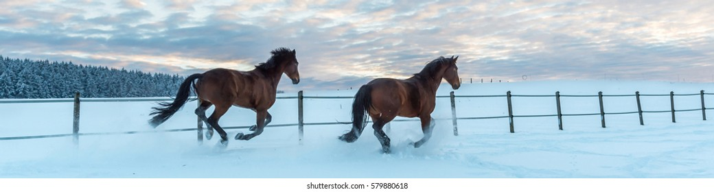 Two Westphalia thoroughbred horses gallop in the snow at sundown