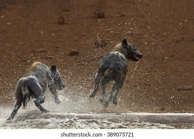 Two wet Spotted hyenas, Crocuta crocuta, enjoying the water in waterhole.  Kruger National Park, South Africa.