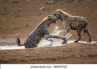 Two wet  Spotted hyenas, Crocuta crocuta, playing together and enjoying the water in waterhole.  Kruger National Park, South Africa.