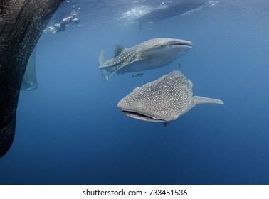 Two whale sharks swimming near the fishing nets of a floating fishing platform, Cenderawasih Bay,  West Papua, Indonesia.
