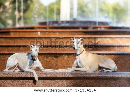 Two Whippet Dogs Lying Down Outdoors Stock Photo Edit Now
