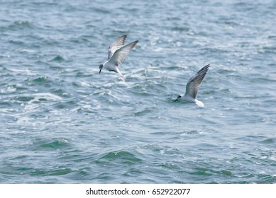 Two Whiskered Terns are hunting herring fish underwater with a beautiful action shot and a motive sea surface in the background.